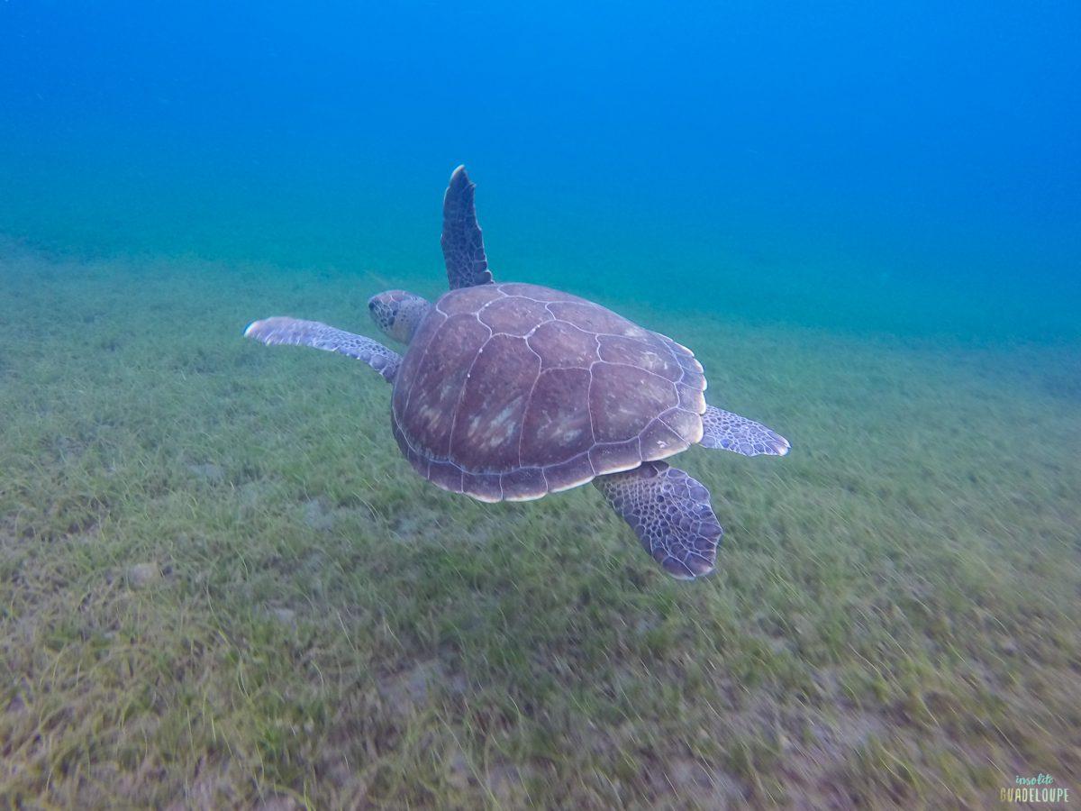 Nager avec les tortues malendure insolite guadeloupe - Nager en piscine avec des palmes ...