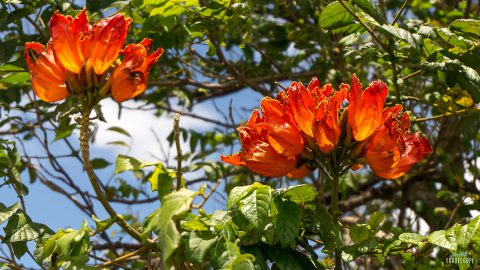 Details-fleur-arbre-Guadeloupe-Fort-Delgres