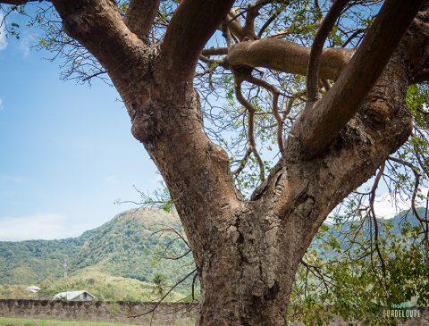 arbre-remarquable-fort-delgres-Basse-Terre