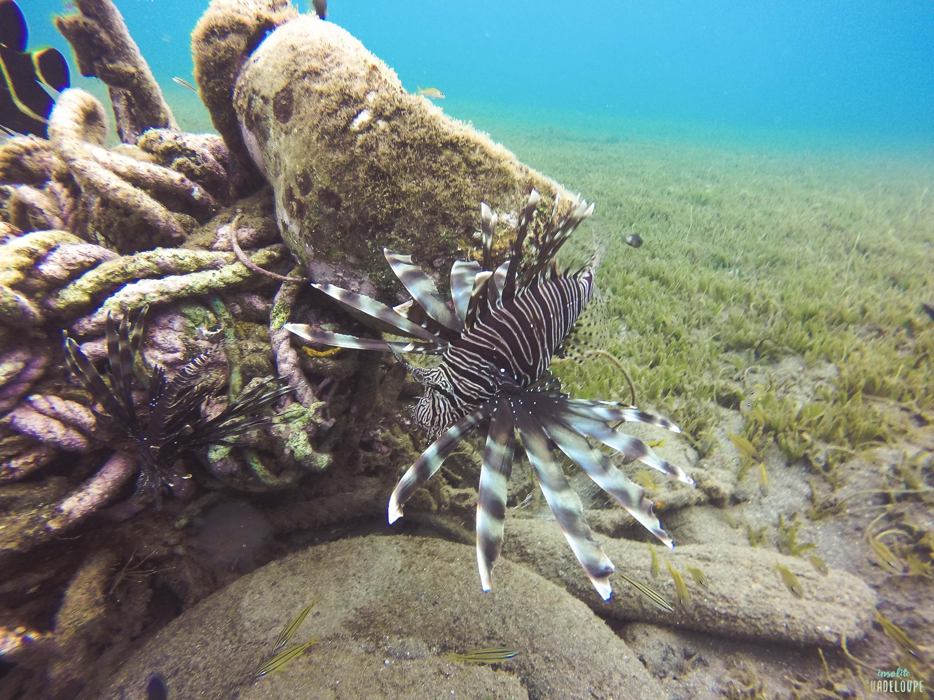 Poisson-lion-mortel-snorkeling-guadeloupe