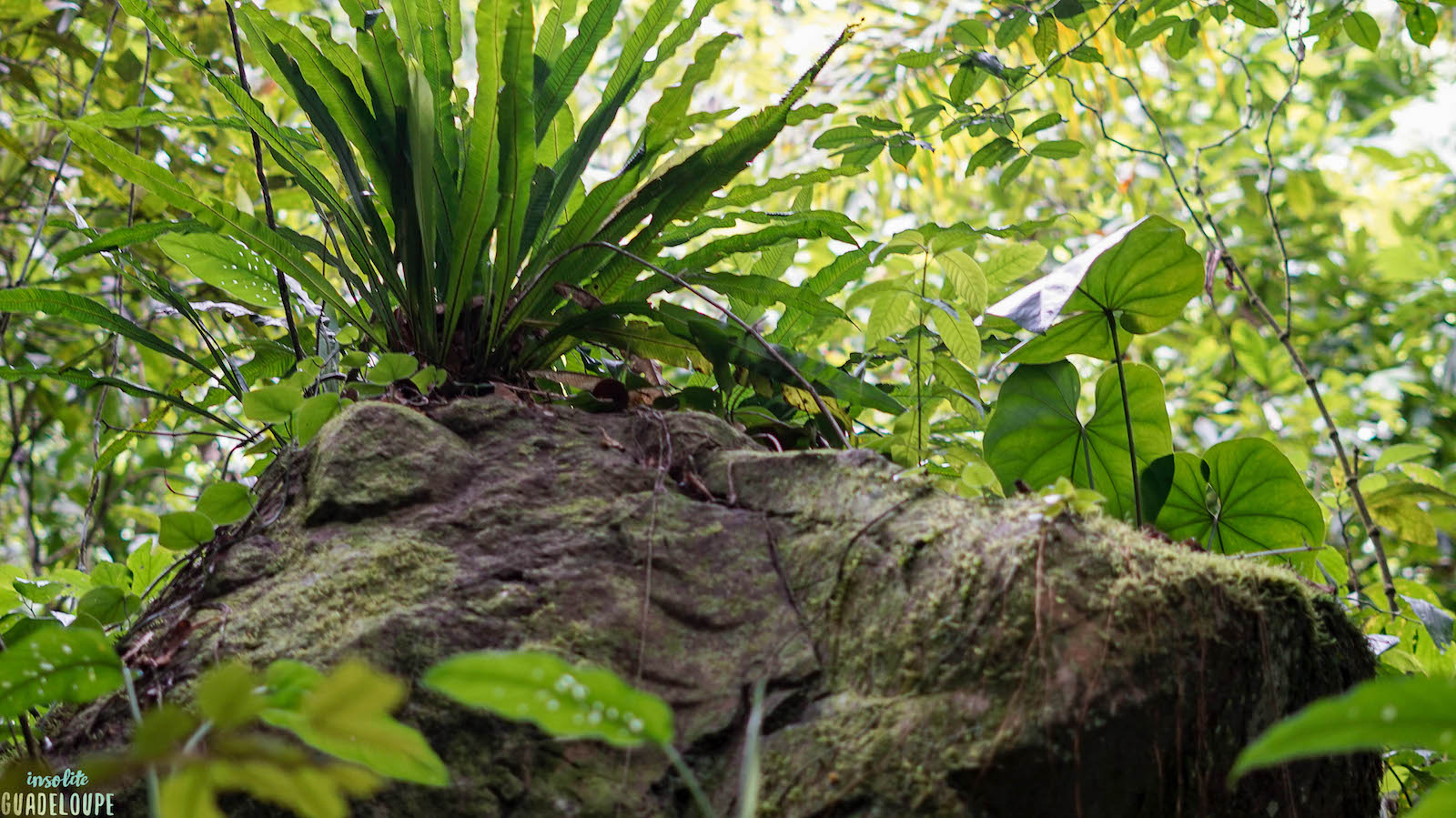 Roche forêt, conseils randonnées Guadeloupe, évitez les dangers
